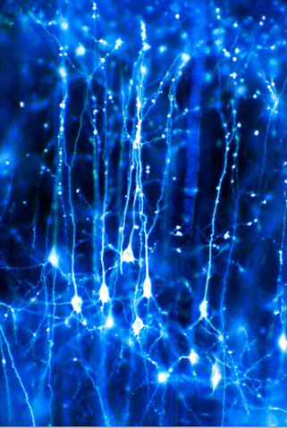 Pyramidal neurons forming a network in the brain. These are nerve cells from the cerebral cortex that have one large apical dendrite and several basal dendrites.